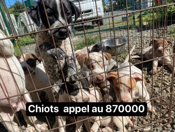 chiots-pitt-x-chien-bleus-appel-870000-big-0